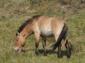 MONGOLIA'S WILD PRZEWALSKI HORSES: Guest Post Caroline Hatton