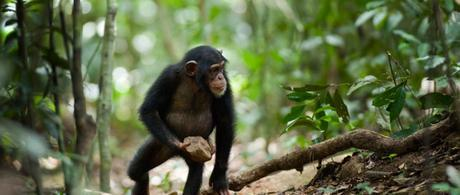 Chimps have morality, they just don't care about it