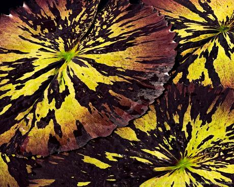 Water Lily Leaves © 2015 Patty Hankins