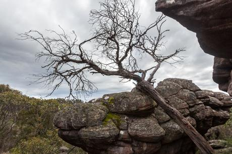 tree resting against rock grampians
