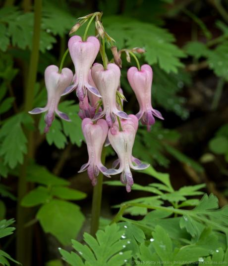 Wild Bleeding Hearts - dicentra eximia © 2015 Patty Hankins