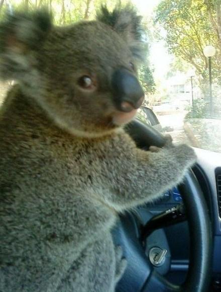 Top 10 Learner Animals Driving Cars Paperblog