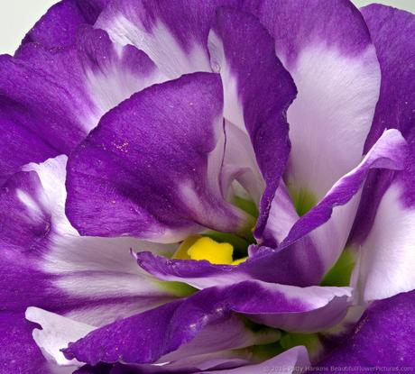 Purple & White Lisianthus © 2015 Patty Hankins