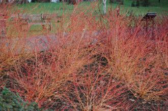 Cornus sanguinea 'Midwinter Fire' (21/01/2012, Kew, London)