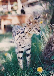 Living with Wild Animals? Read SERVAL SON by Kristine M. Smith