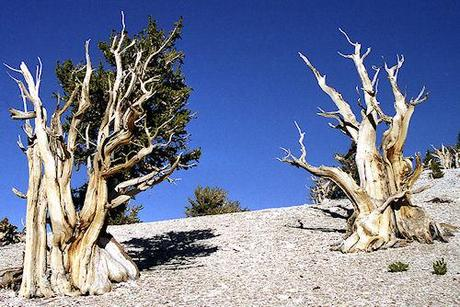 22 Incredibly Old Living Things