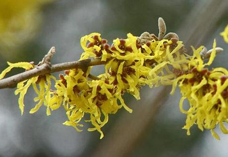 Hamamelis Day at Gresgarth Hall