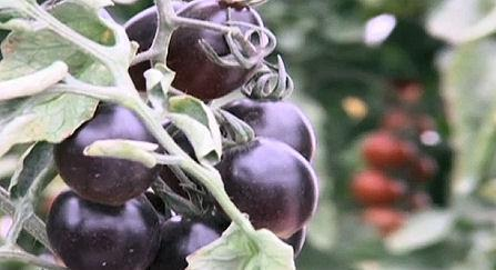 Israeli Scientists Breed Black Tomato