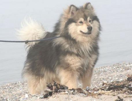 The Finnish Lapphund: image via finnishlapphund.ca