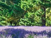 Trip Jersey Lavender Farm
