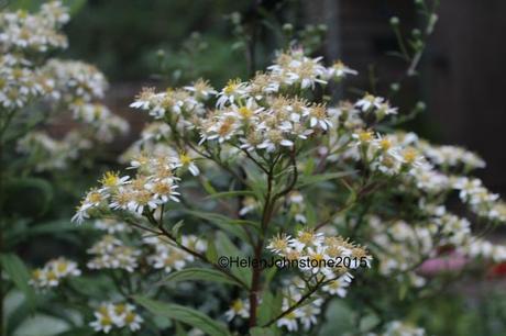 Dollingeria umbellata