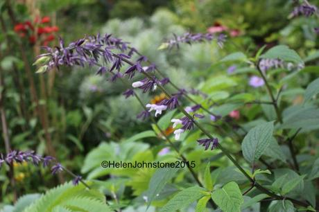 Salvia 'Phyllis Fancy'