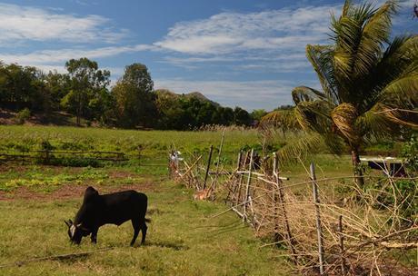 zebu brahaman cow in field