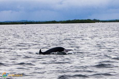 Catching the tail end of a fast swimming dolphin in Bocas Del Toro.
