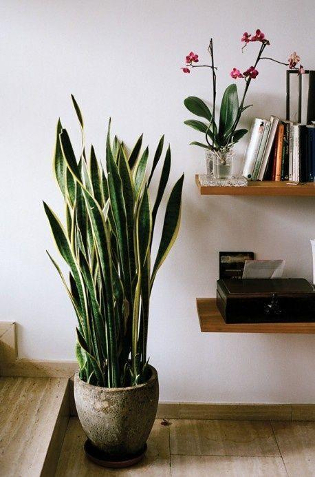 best house plants - Snake Plant - yes! I sooo agree! I started with one, now have 6 and have killed everything else1: