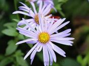 GBBD October 2015 About Asters
