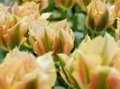 Tulip Bulbs Galore