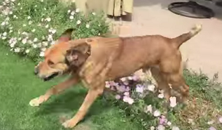 Dog chained for 10+ years enjoys new life because of a caring stranger