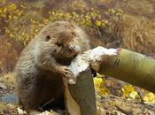 Beavers Important Source Dead Wood Boreal Forests
