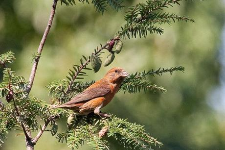 red-crossbill