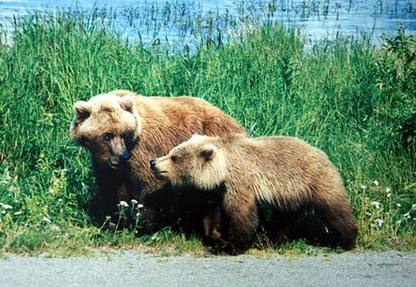 Obama Administration Pushes To Delist Yellowstone Grizzly Bear | Howling For Justice