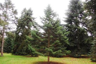 Abies holophylla (07/12/2015, Kew Gardens, London)
