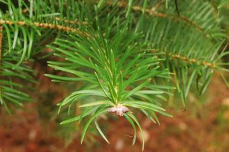 Abies holophylla Leaf (07/12/2015, Kew Gardens, London)