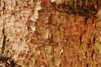 Abies holophylla Bark (07/12/2015, Kew Gardens, London)