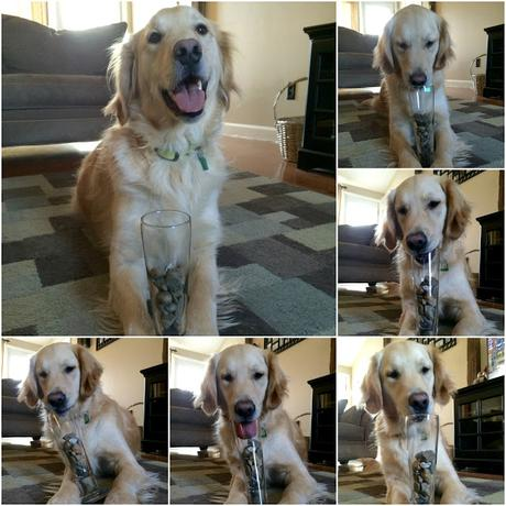 golden retriever dog who likes to collects rocks #mondaymischief