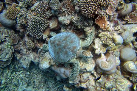 Turtle snorkelling, Maldives