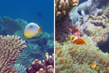 Tropical fish at Villingili, Maldives