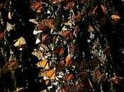 Numbers Dwindle Mexico's Mountain Butterflies