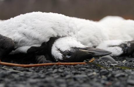 Starved Dead Birds Are Washing Up On Alaska Beaches, And No One Knows Why