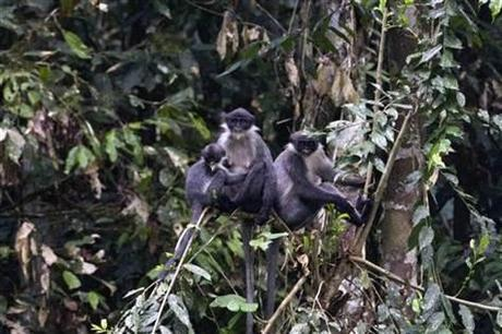 Family of Miller's Grizzled Langurs photographed on tree branch in Wehea Forest, Borneo, Indonesia: © AP. Eric Fell, via msnbc.com