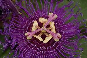 Velvety Passion Flower