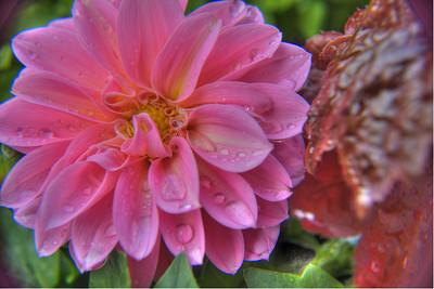 Dahlia pinnata is the national flower of Mexico,species having tuberous roots and showy rayed variously colored flower heads