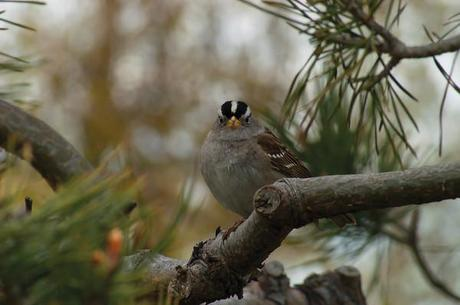 The White-Crowned Sparrow