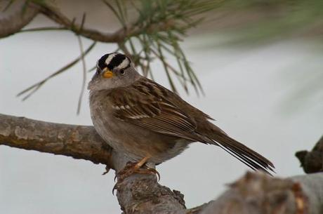 "WHITE-CROWNED SPARROW -5.The Sparrows is small bird with mostly gray plumages. The White-Crowned Sparrow is also gray but has a brown back and wings. It is so named because of a white and black striped crown.It's a common summer residents and breeds across northern North America. The White-Crowned Sparrow is less common in the winter and can be found in the lowlands, specially in agricultural areas.Habitats: Shrubby woodland, parks, cities. Farms are preferred in winter. Song of the White-crowned Sparrow: In the call of the White-Crowned Sparrow some people seem to hear phrases like ""See me, pretty, pretty me"""