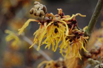 Hamamelis x intermedia 'Vesna' Flower (21/01/2012, Kew, London)