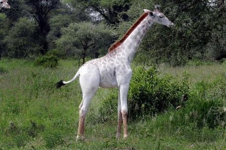 Rare White Giraffe Spotted in Tanzania