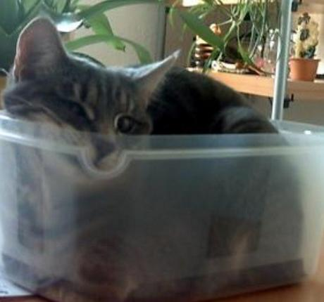Cat in a Sandwich Box