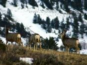Wildlife: Wintry Weather Take Toll Colorado Mule Deer