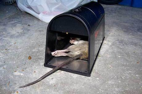 How to Catch a Rat [del.icio.us]
