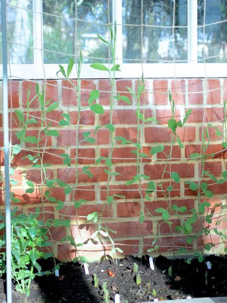 Growing Sweet Peas – Part 2