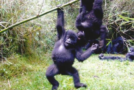 Mountain Gorillas trekking. Diary of a Muzungu