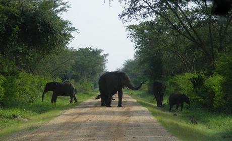 Elephants Maramagambo Forest Queen Elizabeth National Park