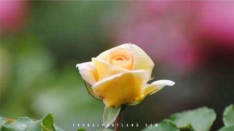 Visit-Portland's-International-Rose-Test-Garden