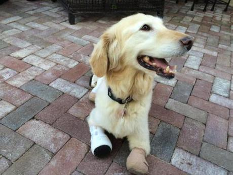 In this Saturday, March 12, 2016 photo, Chi Chi, a golden retriever mix, lays down in the yard of her new home in Phoenix. The 2-year-old dog has spent two months in a veterinary clinic in Seoul learning how to live with prosthetic paws. (AP Photo/Terry Tang)