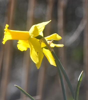All Daffodils Condidered