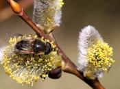 Wordless Wednesday Salix Caprea Honeybee Mimic
